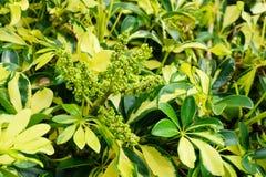 Fruit of Dwarf Schefflera, Arboricola Royalty Free Stock Image