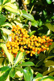 Fruit of Dwarf Schefflera, Arboricola Royalty Free Stock Photos