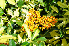 Fruit of Dwarf Schefflera, Arboricola Stock Image