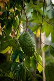 Fruit et arbre muricata d'Annona Images libres de droits