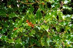 Fruit et feuilles de genévrier photo stock