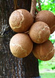 Cannonball tree fruit. The fruit falls from the tree and cracks open when it hits the ground when mature royalty free stock photo