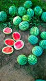 Fruit farm,watermelon Stock Photos