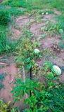Fruit farm,watermelon Stock Photos