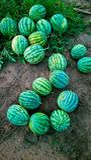 Fruit farm,watermelon Royalty Free Stock Photography