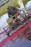 Fruit Farmer Prepares Cranberry Bog for Harvest Royalty Free Stock Photos