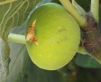Fruit fig on the tree. Fruit green fig on the tree with leaves Stock Image