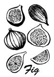 Fruit of fig tree isolated on white background. Vegetarian food. Botanical food illustration. Vector illustration with. Sketch fruit Royalty Free Stock Photo