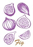 Fruit of fig tree isolated on white background. Vegetarian food. Botanical food illustration. Vector illustration with. Sketch fruit Royalty Free Stock Images