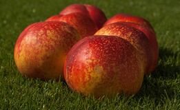 Fruit, Fishing, Peach Apricot Royalty Free Stock Image