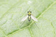 Fruit flies Royalty Free Stock Photography