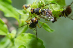 Fruit flies holding on green branch with close up detailed view. Royalty Free Stock Photography