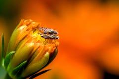 Fruit Flies mating royalty free stock photos