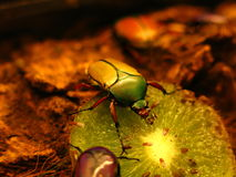 Fruit and Flower Chafer Scarab Beetle stock photos
