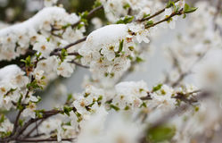 Flowering tree in the snow. Fruit flowering tree in the snow royalty free stock photography