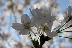 Fruit flowers in the earliest springtime Stock Images
