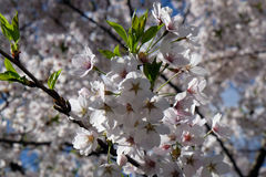 Fruit flowers in the earliest springtime Stock Photo