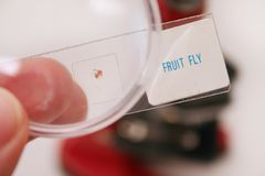 Fruit fly. Microscopic slide, magnified Stock Image