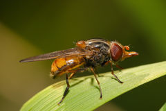 Fruit fly on a blade of grass macro Stock Image