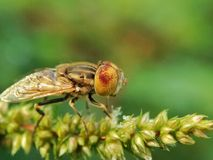 Fruit fly Stock Image