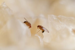 Fruit fly Stock Photos