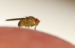 Fruit fly Stock Photography