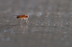 Fruit fly (Drosophila Melanogaster) Stock Photography