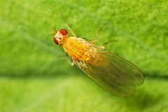 Fruit fly (Drosophilidae) Stock Image