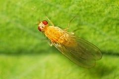 Fruit fly (Drosophilidae) Stock Image