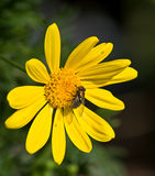 Fruit fly feeding on a colorful sunflower. Stock Photography
