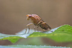 Fruit fly Royalty Free Stock Image