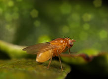 Fruit fly. A macro photography of a fruit fly royalty free stock photo