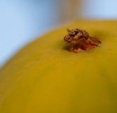 Fruit fly on pear Stock Photos