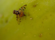 Fruit fly on pear Stock Images