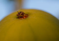 Fruit fly on pear royalty free stock image