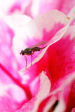 Fruit fly on the rhododendron Royalty Free Stock Image