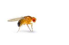 Fruit fly. Single fruit fly (drosophila melanogaster) on white background Royalty Free Stock Image