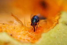 Fruit fly sucking sweet from ripe fruit Royalty Free Stock Photography