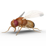 Fruit fly Royalty Free Stock Photography