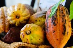 Fruit frais de cacao sur des cacaoyers photo libre de droits