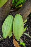 Fruit frais de cacao sur des cacaoyers photos libres de droits