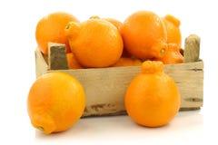 Fruit frais et coloré de tangelo de Minneola Photographie stock