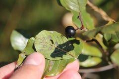 Fruit of Frangula alnus, the glossy buckthorn Stock Photos