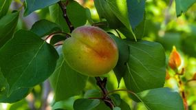 Fruit, Fruit Tree, Branch, Peach Stock Photography