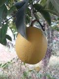 Fresh fruit of my garden Royalty Free Stock Photography