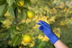 Fruit génétiquement modifié Image libre de droits