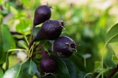 Fruit garden near homes . pears Stock Photos