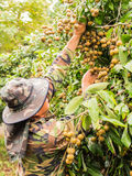 Fruit gardener croping a bunch of fresh Longan during rain, Chia Stock Images