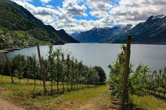 Fruit gardens on coasts of the Hardanger fjord, Norway stock images