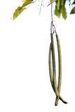Fruit of the golden shower tree. ( Cassia fistula Stock Photos